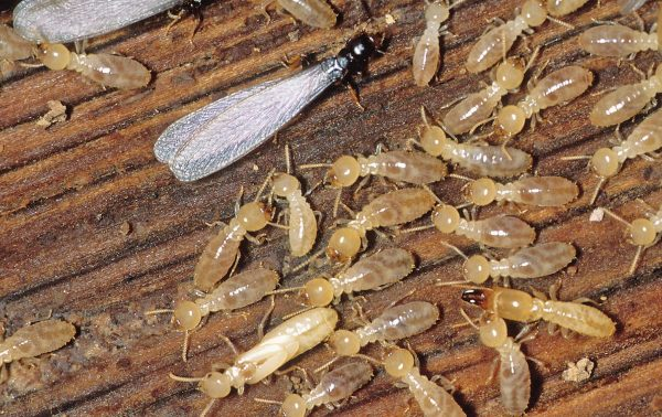 termite tips - termite inspection
